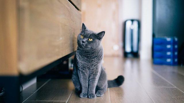 Британская кошка возле комода