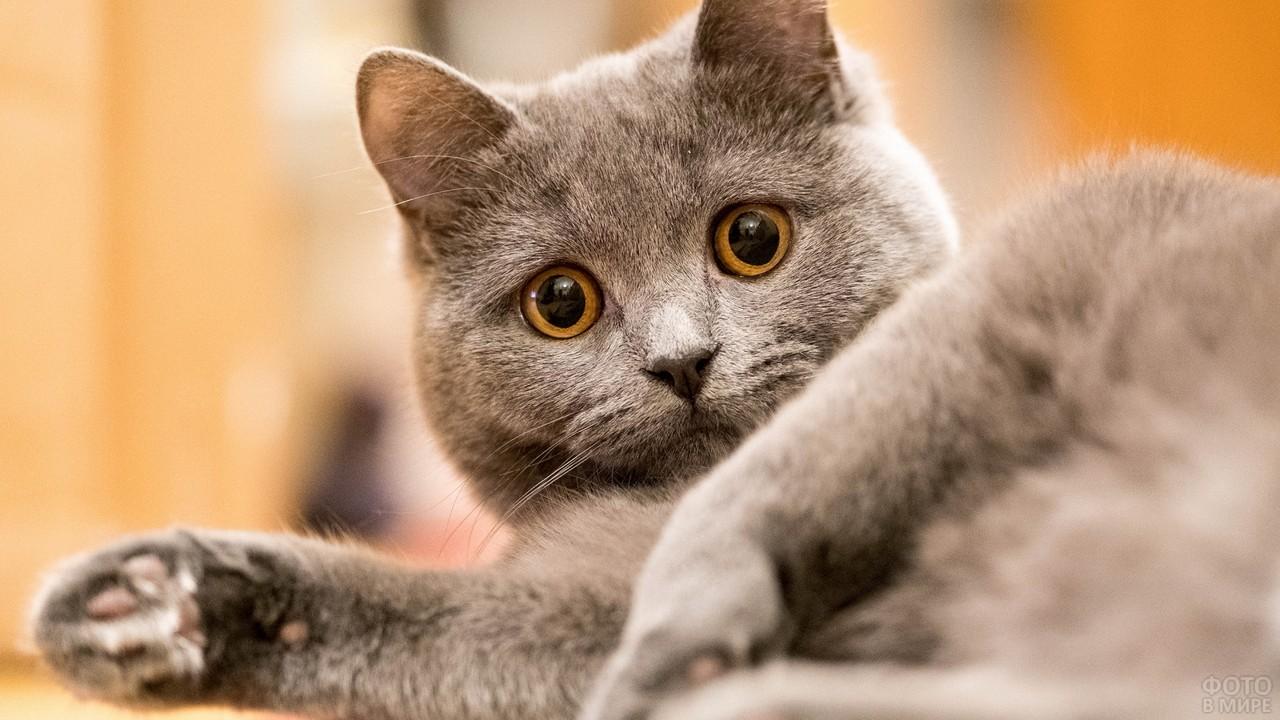 Пристальный взгляд забавной кошки