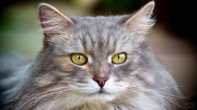 Пушистая кошка с жёлтыми глазами