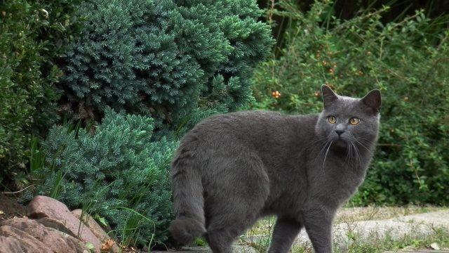 Серый кот на фоне кустов