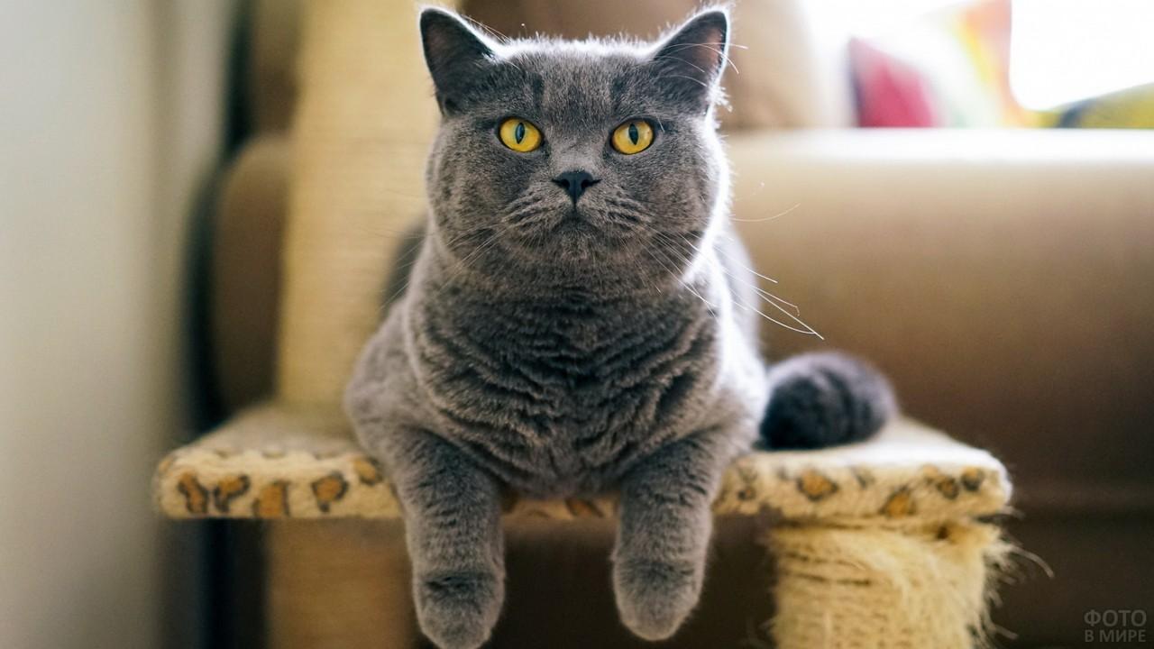 Серый кот свесил лапы с когтеточки