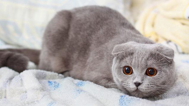 Шотландский вислоухий кот на постели