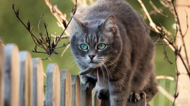 Смелая кошка идёт по забору