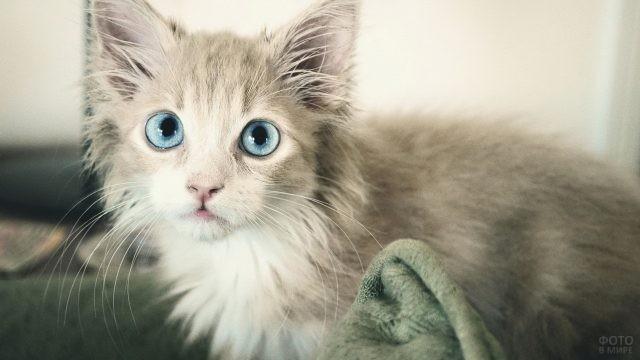 Светло-серый котёнок с голубыми глазами