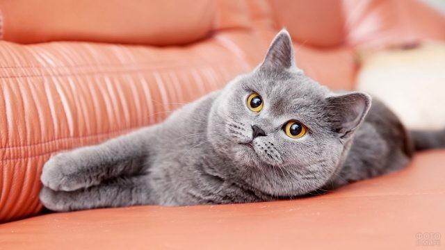 Ухоженная кошка на красном диване