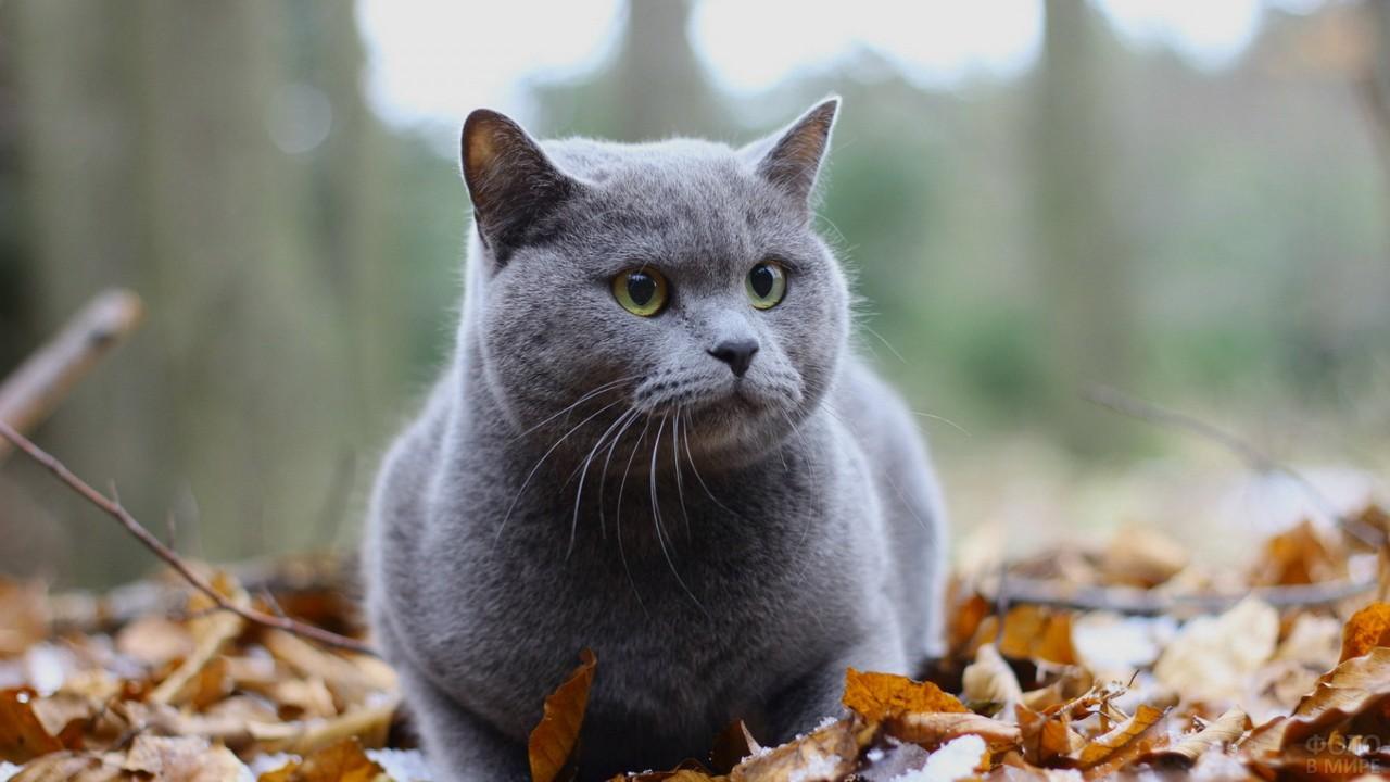 Упитанная кошка на осенних листьях