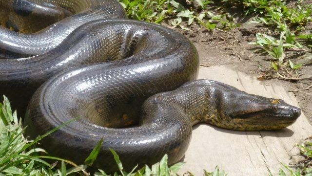Гигантская змея анаконда