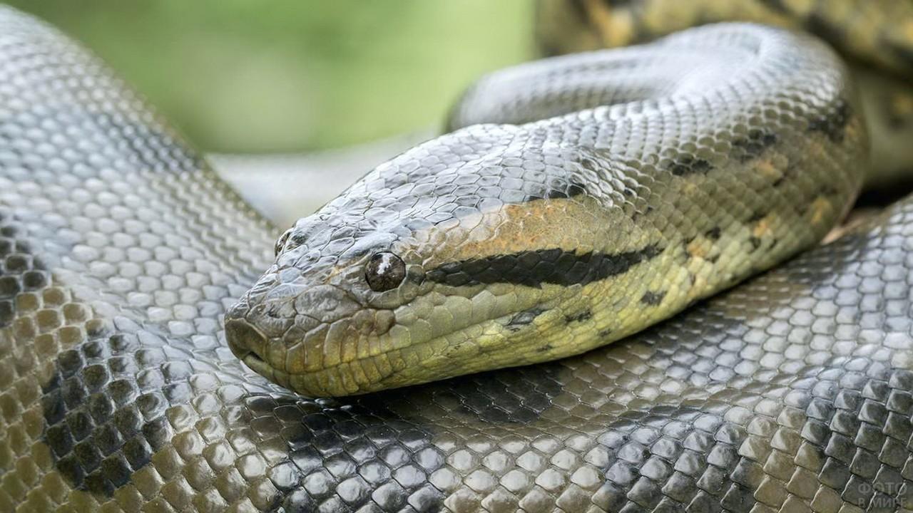 Голова зелёной анаконды