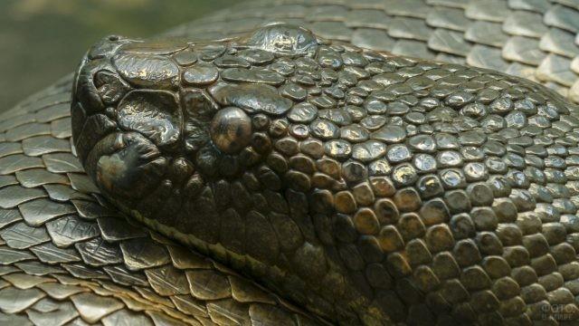 Морда змеи анаконды