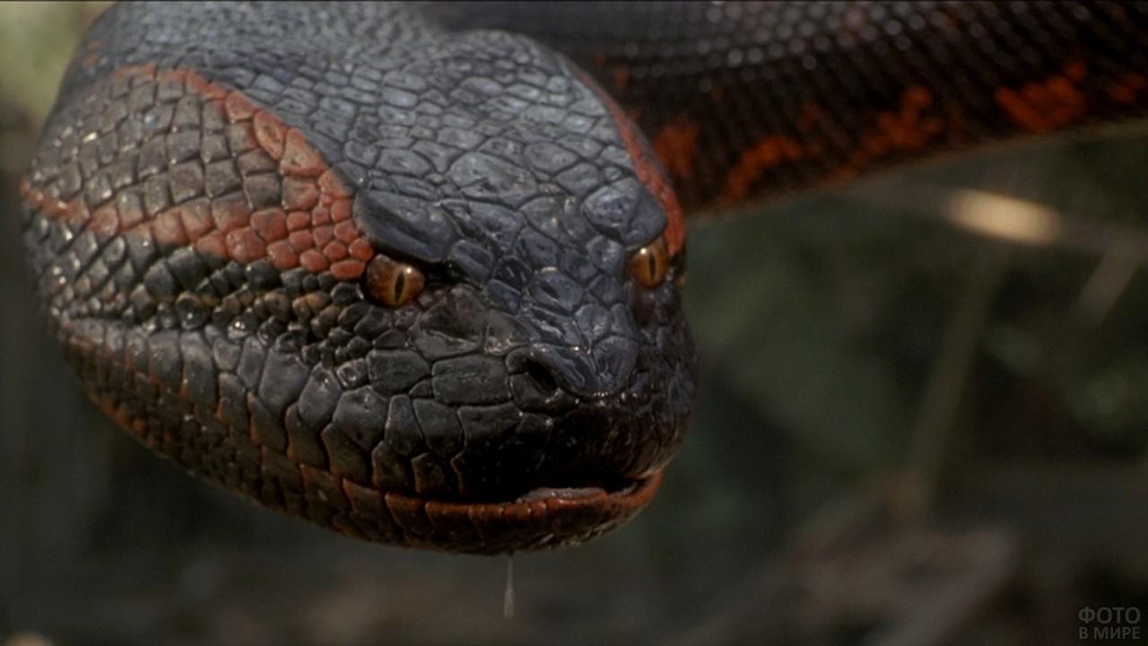 Взгляд гигантской анаконды