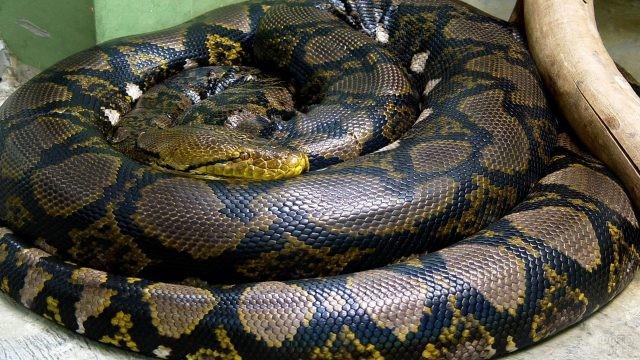 Змея свернулась кольцами