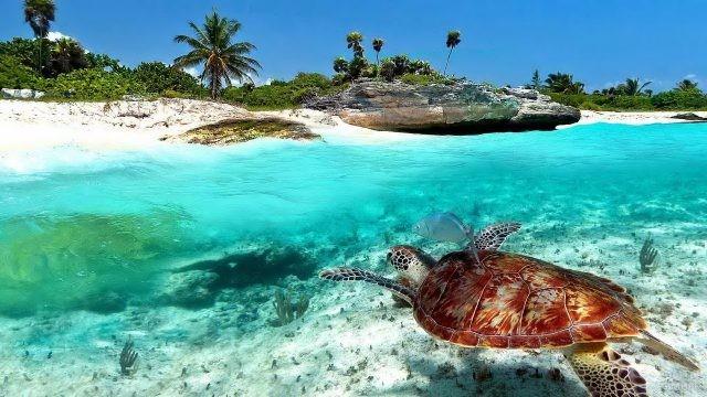 Черепаха у берега Плайя дель Кармен