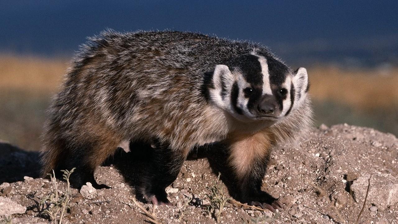 Барсук животное фото
