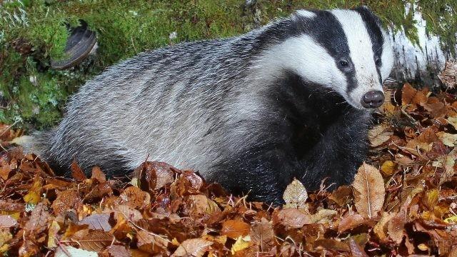 Барсук сидит на осенней листве