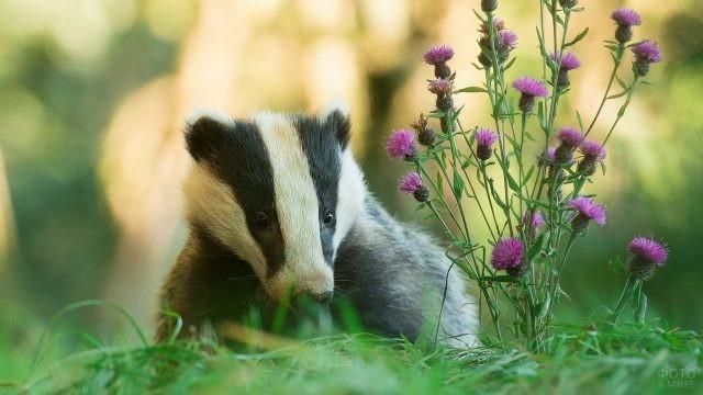 Барсук сидит возле сиреневых цветочков