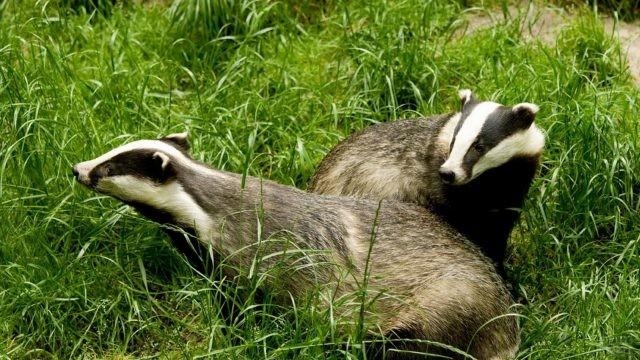 Два барсука сидят на травке