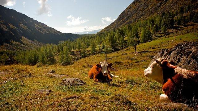 Коровы лежат на траве