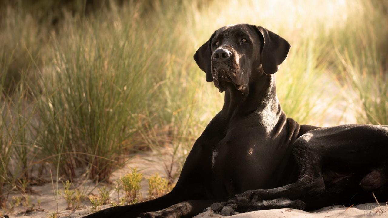 Королевская собака на песке