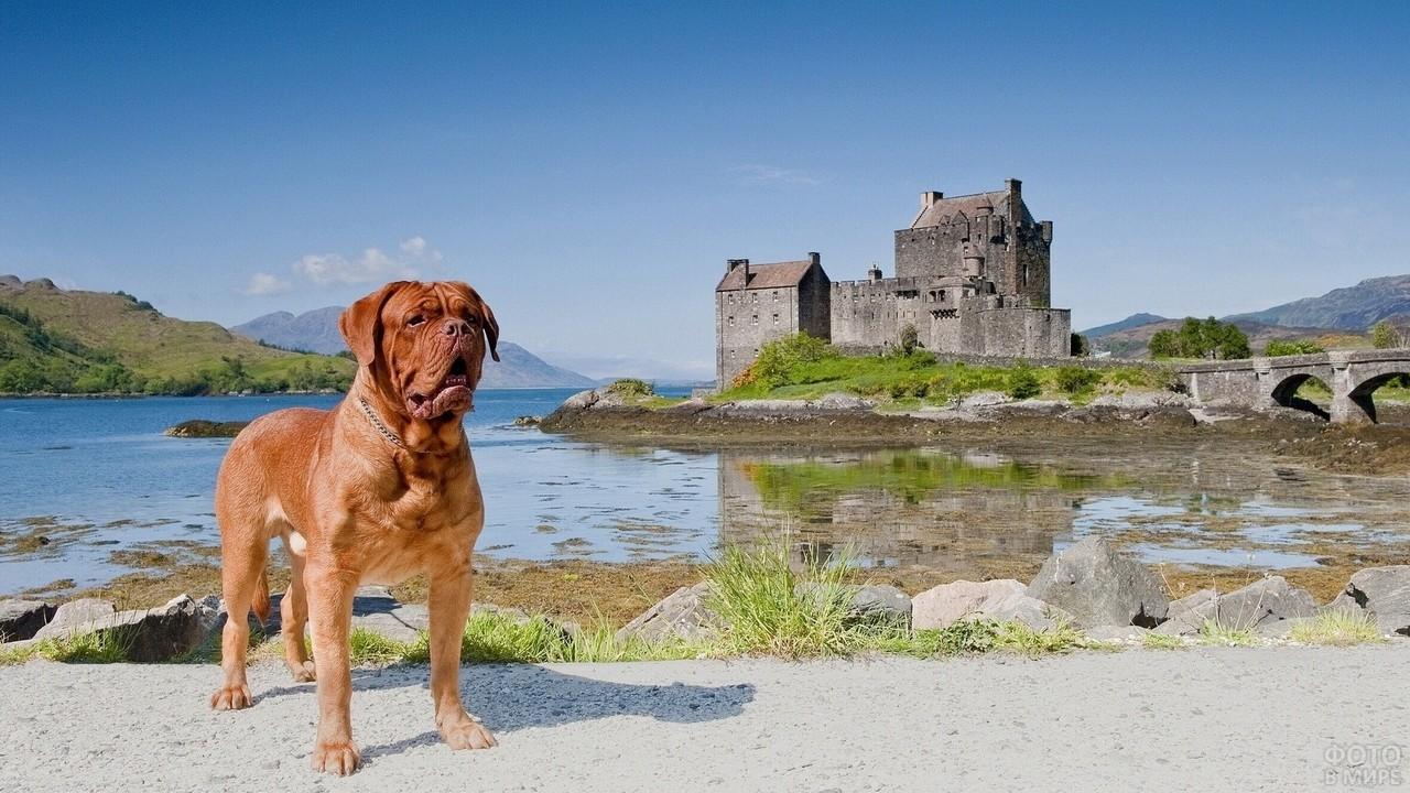 Собака у водоёма на фоне замка