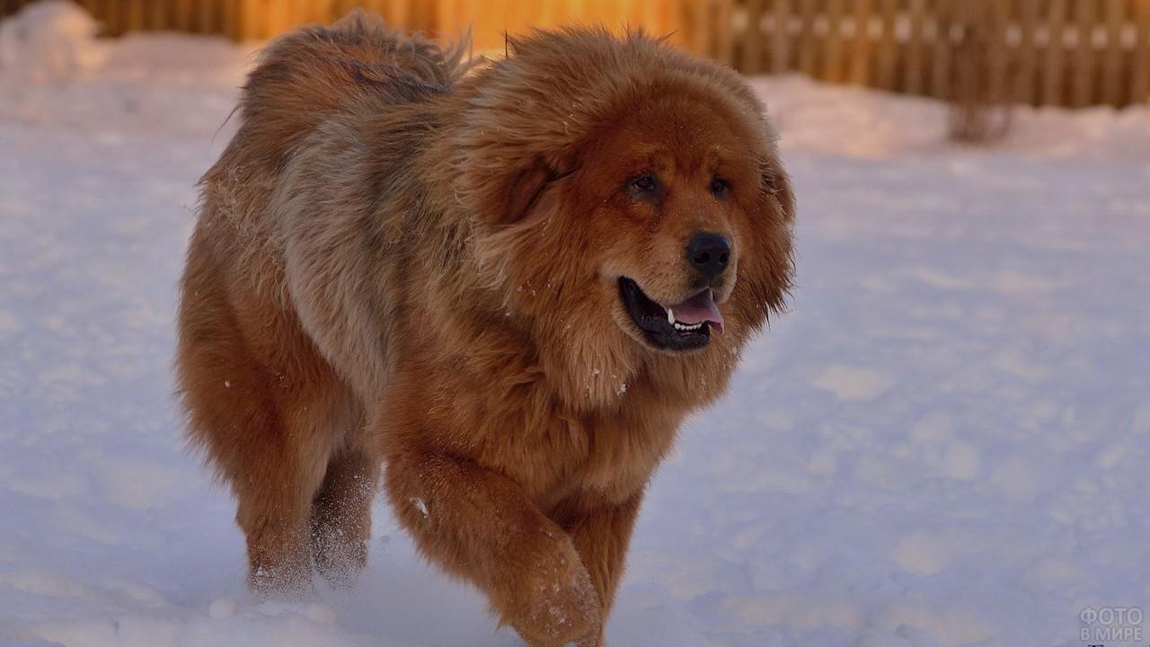 Тибетский дог бежит по снегу