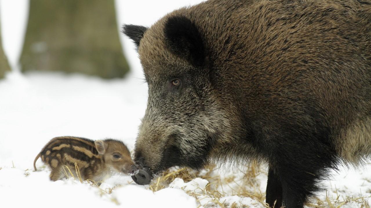 Дикая свинья со своим детёнышем