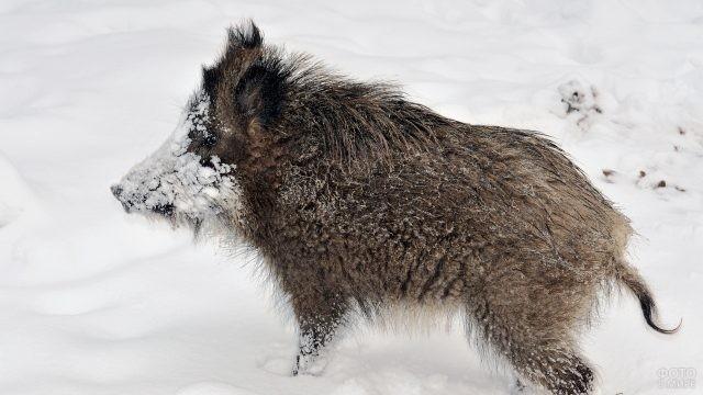 Кабан запачкал морду снегом