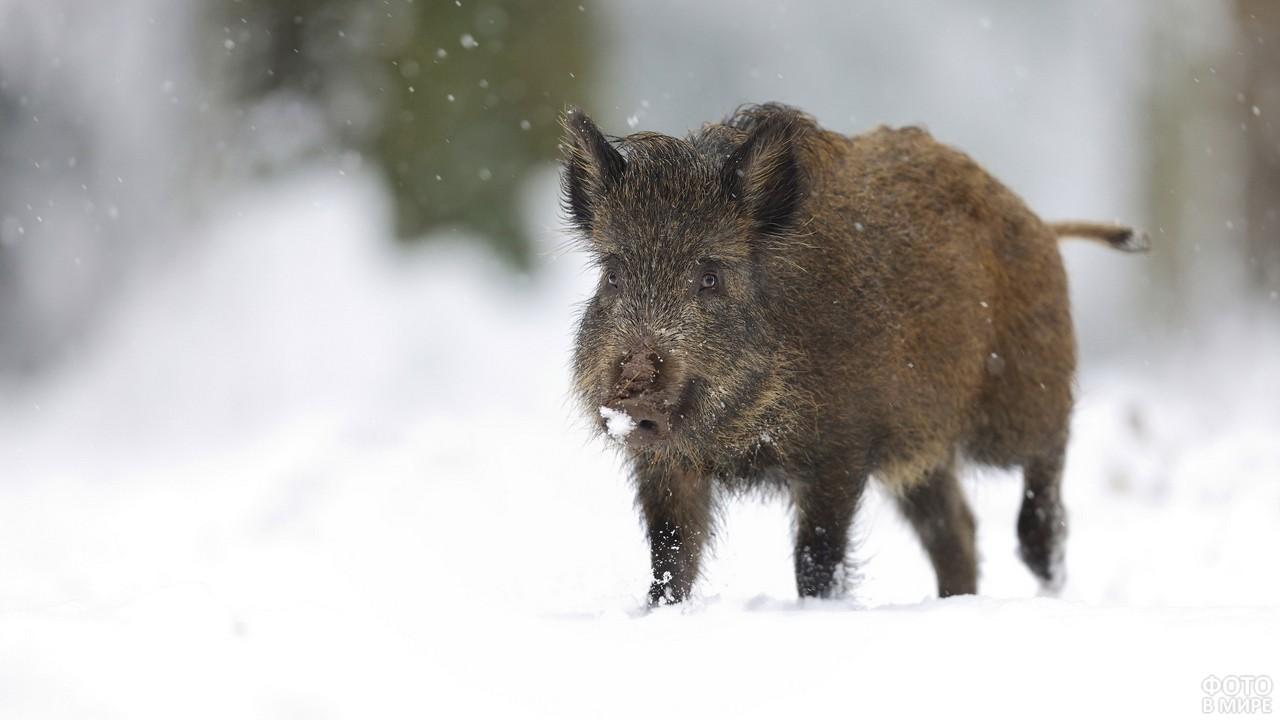 Кабанчик идёт по снегу