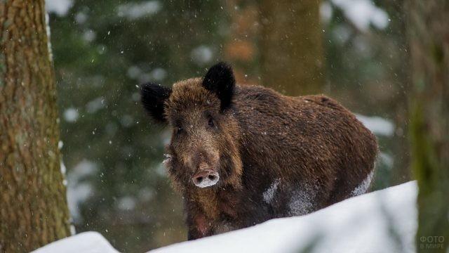 Кабанчик в зимнем лесу