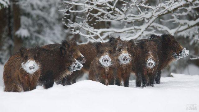 Кабаны испачкали пяточки в снегу