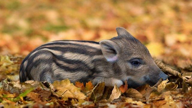 Маленький кабанчик в осенней листве
