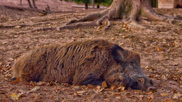 Матёрый секач спит на опавшей листве