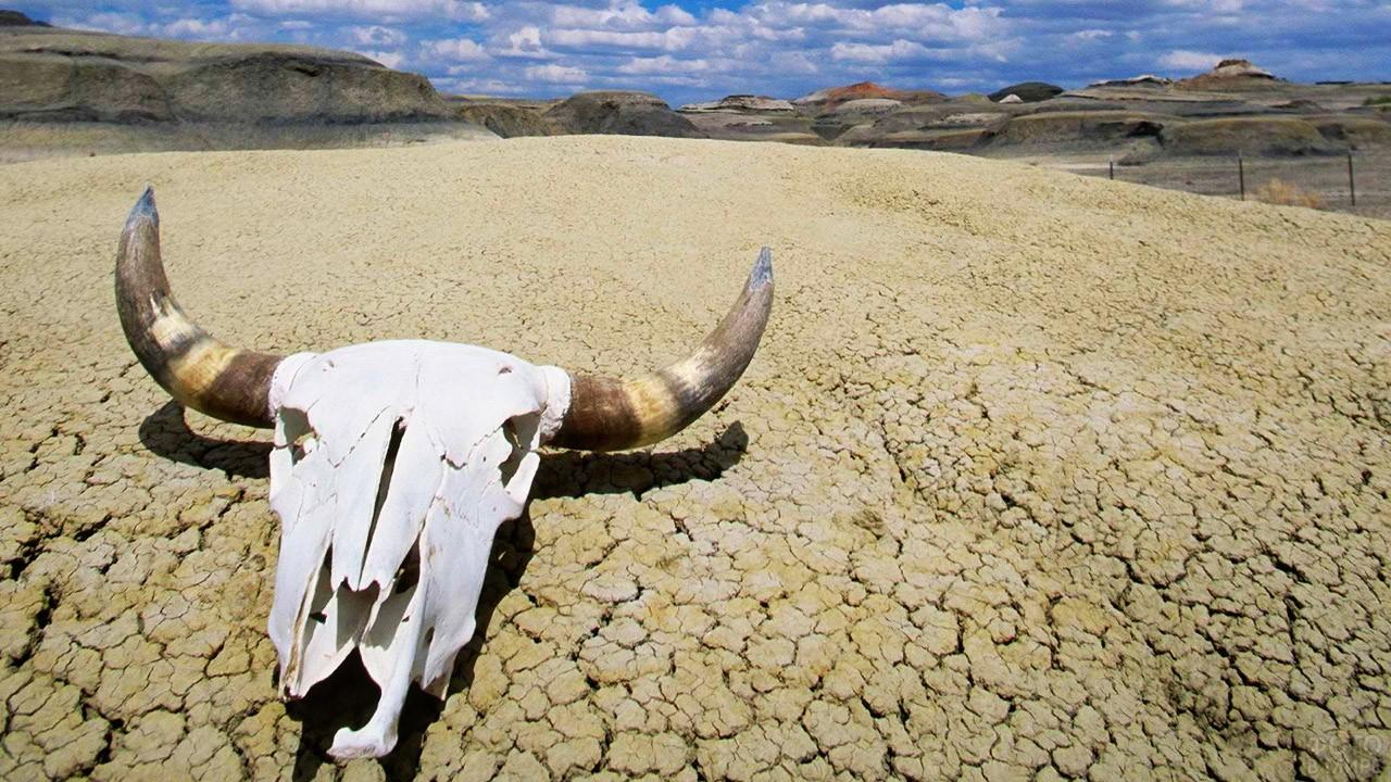 Череп буйвола в калифорнийской пустыне
