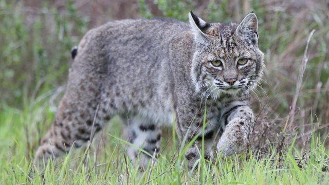 Большая кошка бредёт по траве