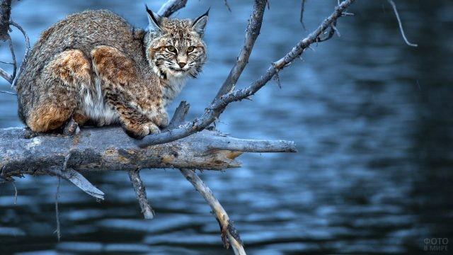 Большая кошка над водой