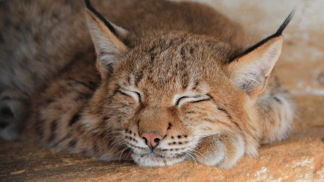 Большая кошка спит