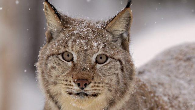 Дикая кошка в снежинках