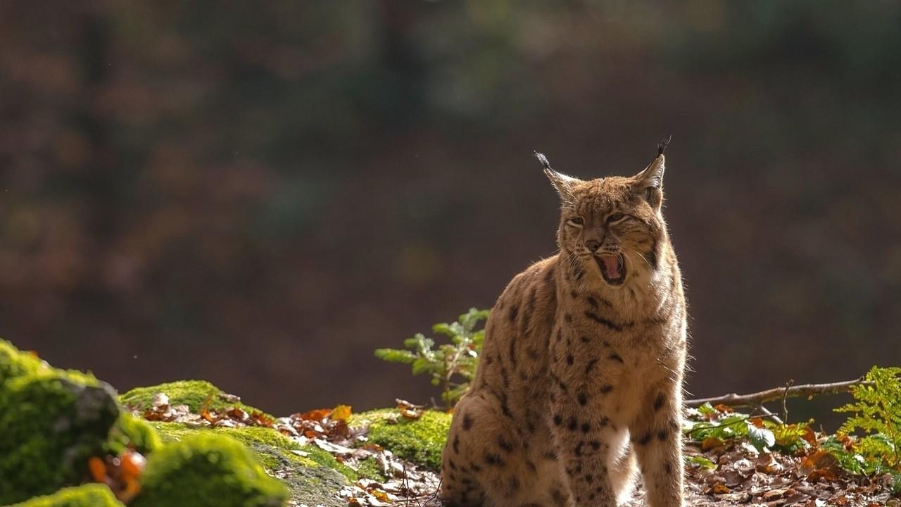 Дикая кошка зевает