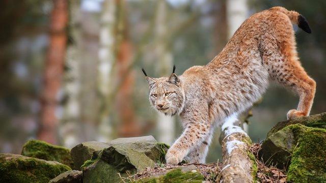 Хищник на прогулке