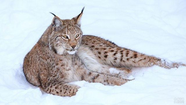 Хищник на снегу