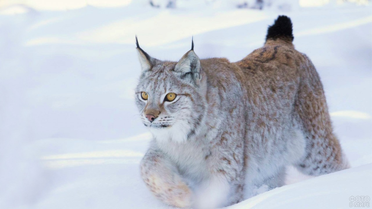 Рысь бежит по глубокому снегу