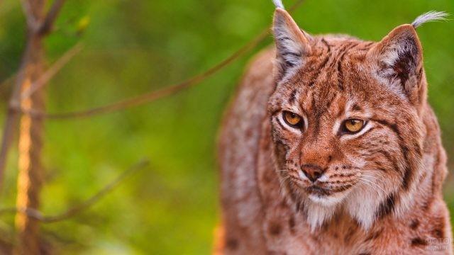 Рыжая большая кошка
