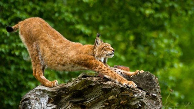 Рыжая кошка потягивается на дереве