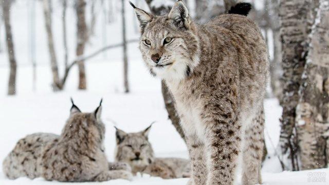 Семейство кошачьих на снегу
