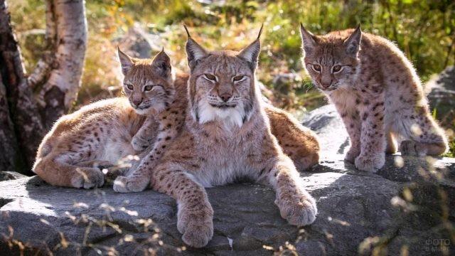 Семейство рысей на камнях