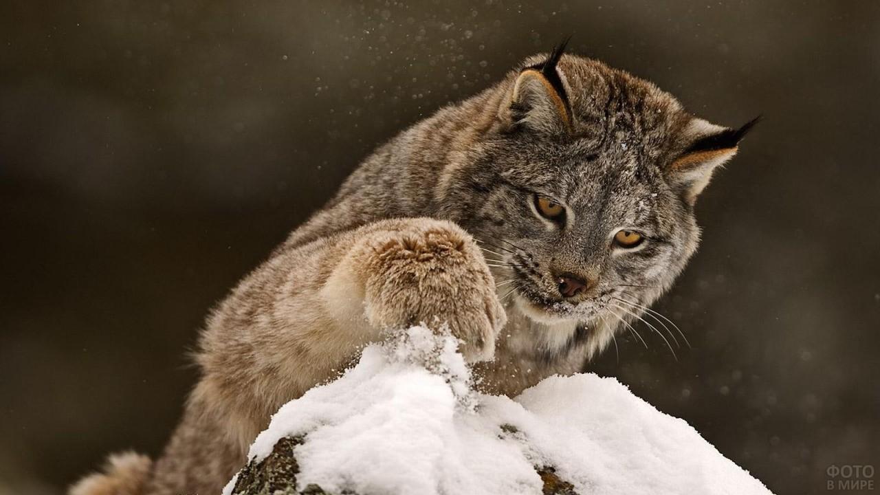 Степной хищник играет со снегом