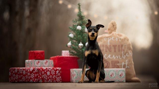 Цвергпинчер на фоне подарков и ёлки