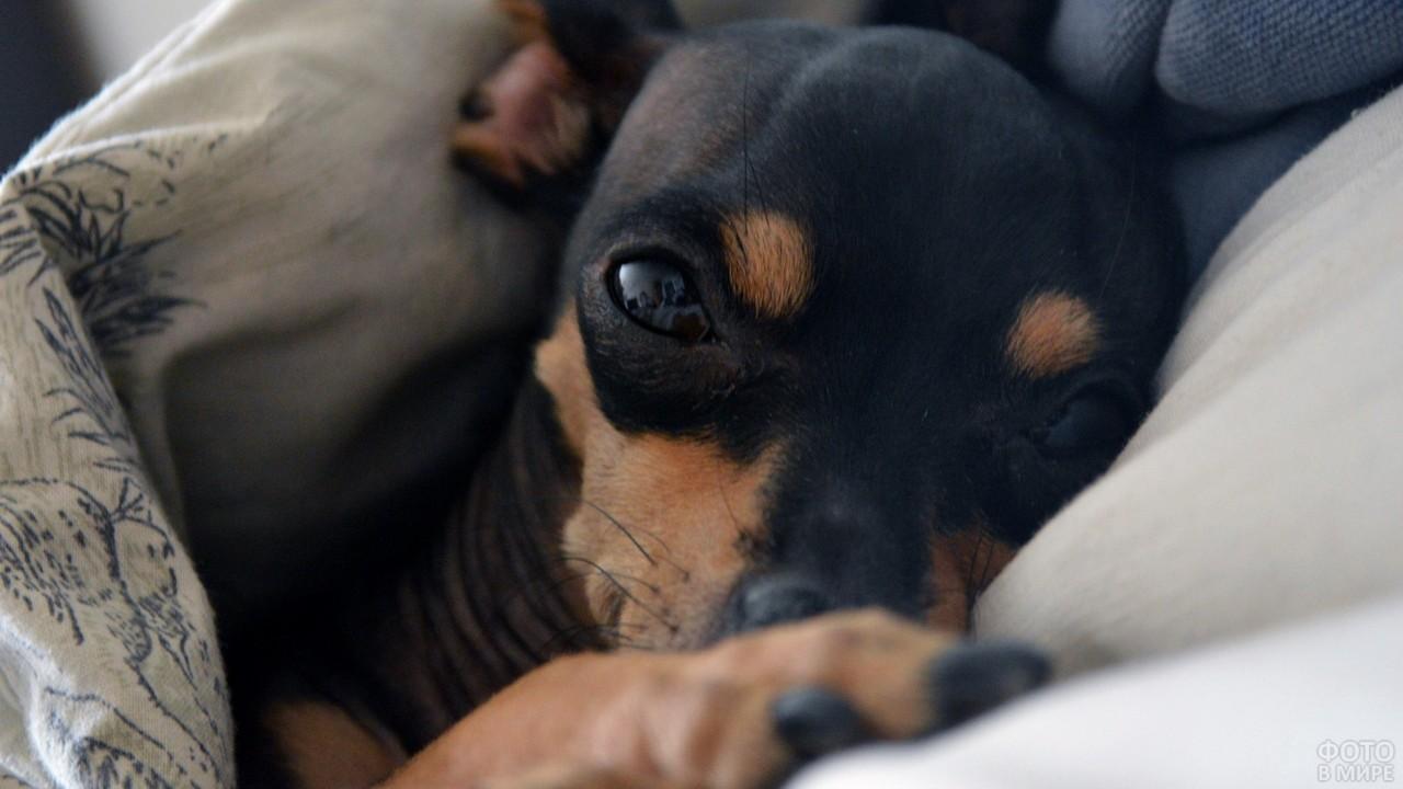 Дремлющий цвергпинчер на подушке под одеялом