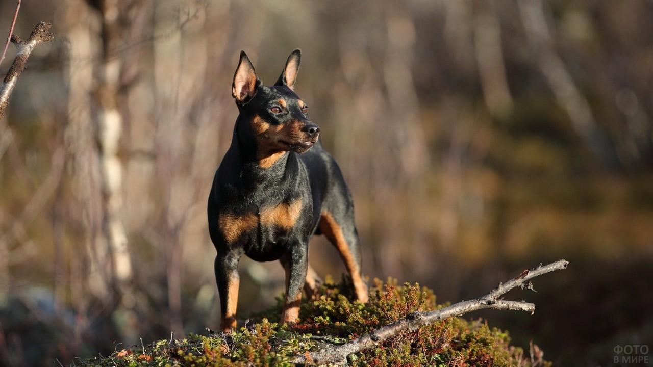 Мускулистая собака на валежнике