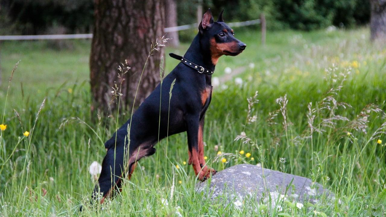 Пёс встал передними лапами на камень