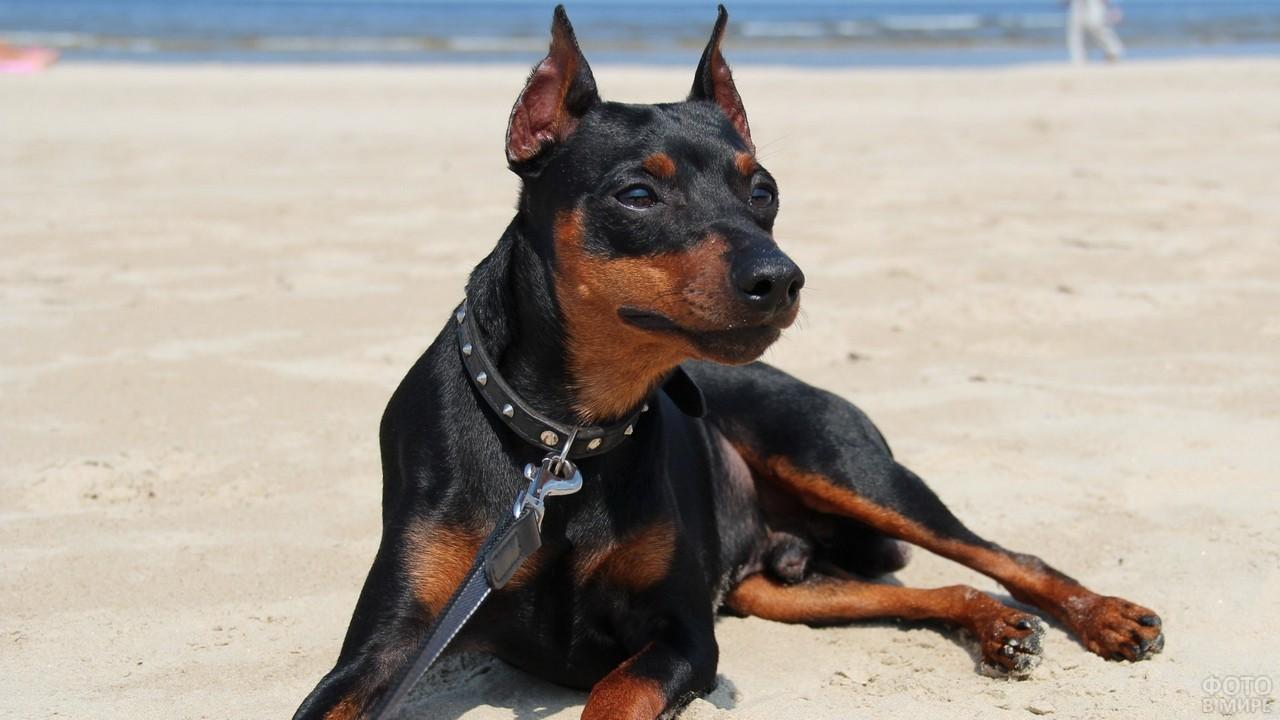 Послушный пёс лежит на пляже